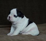 Affectionate bulldog puppies for adoption