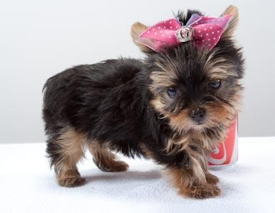 Chaming Yorkie puppies for sale