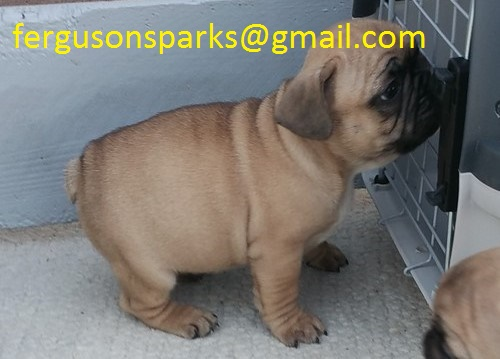 Lovely French Bulldog puppies for sale.