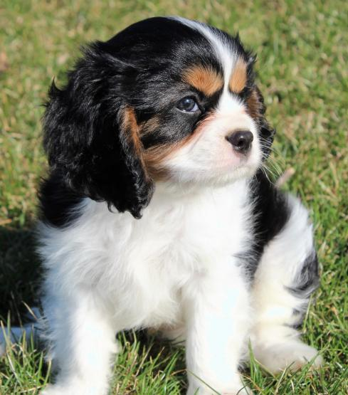 Adorable Cavalier King Charles Spaniel Puppies Looking for New Homes
