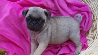 healthy Xmas Pug puppies for kids