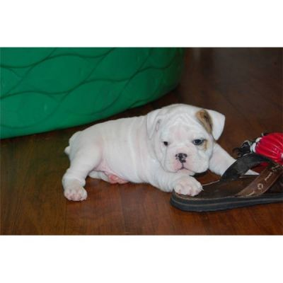 TWO CUTE ENGLISH BULLDOG PUPPIES FOR ADOPTION