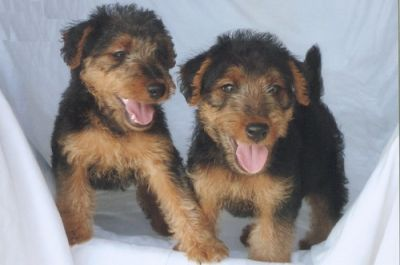 Adorable Welsh Terrier Puppies For Sale