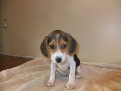 Outstanding Beagle puppies for sale