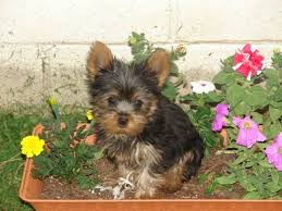 tinny teacup Yorkie ready for adoption