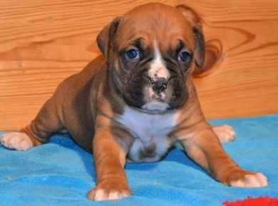 Lovely Boxer Puppies For Cute Homes Now