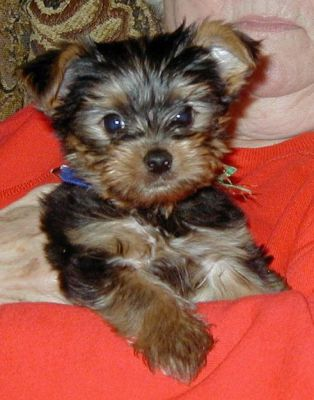 Yorkie puppies for adoption to your family