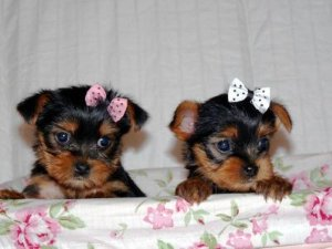 extremely cute teacup yorkie puppies to loving homes