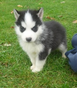 Home Raised & socialized Siberian Husky  puppies for kids
