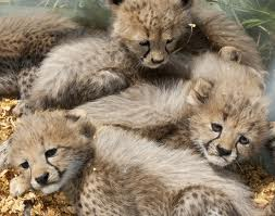 cheetah cubs babies for sale