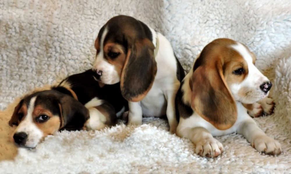 Home Bred Beagles puppies