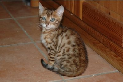 TICA Registered Bengal Kitten