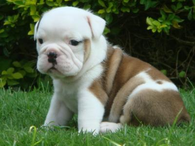 cute and affectionate bulldog puppies for adoption