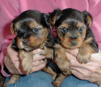Yorkie Puppies For Free Adoption...