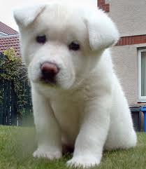 akita puppy in  great need of a great home do contact for more details