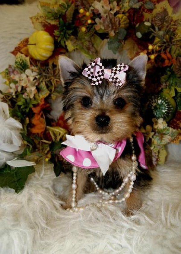 100% Cute Yorkie Puppies for sale