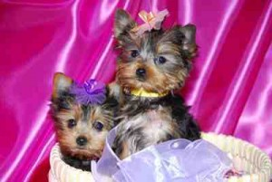 Adorable Male And Female Yorkie Puppies Ready For A New Home