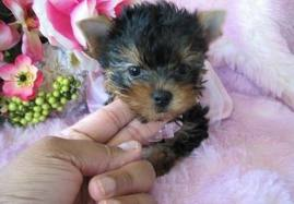 CUTE YORKSHIRE TERRIER PUPPIES FOR SALE TO LOVELY FAMILIES