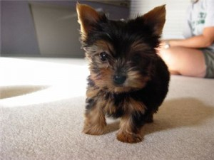 charming Yorkshire Terrier For Christmas