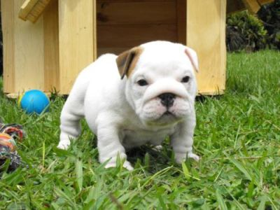 Beautiful Pedigree New Bullie Puppies, Lovingly Home Reared With Children ... for sale.