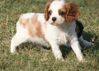 Cavalier King Charles Spaniel female puppies