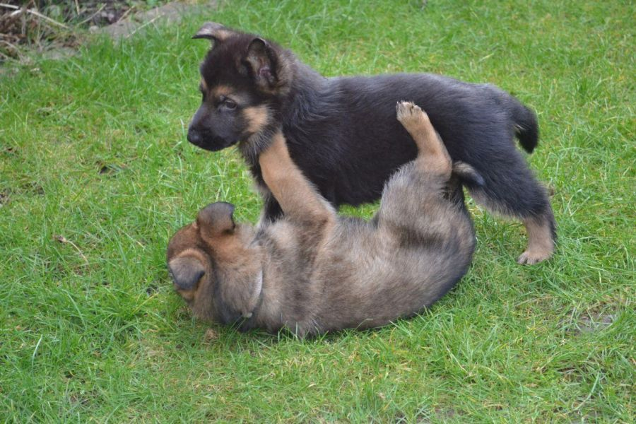Smart M/F German Shepherd Puppies for New Homes