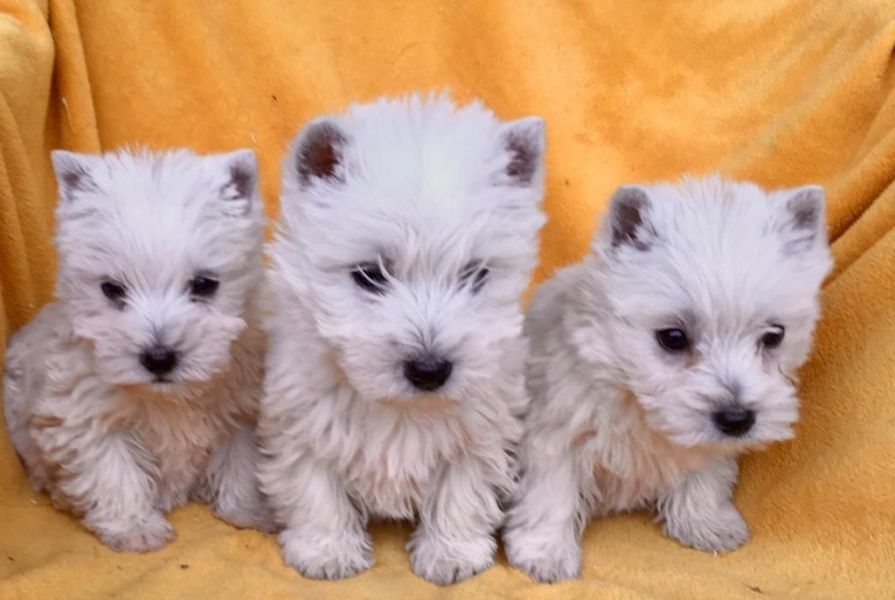 Ready Now West Highland Terriers