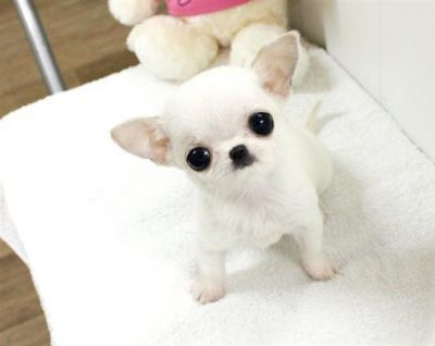 beautiful male and female Tiny chihuahua puppies for  christmass