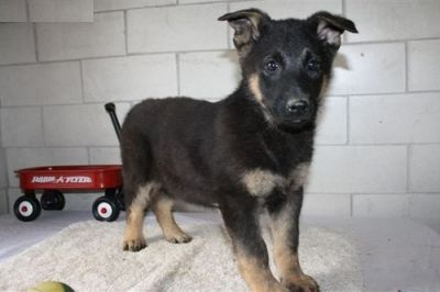 German Shepherd puppies ready now