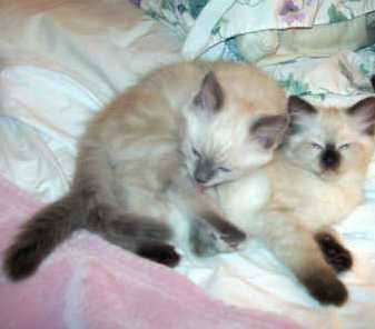 enchanting male and female ragdoll kittens for free adoption