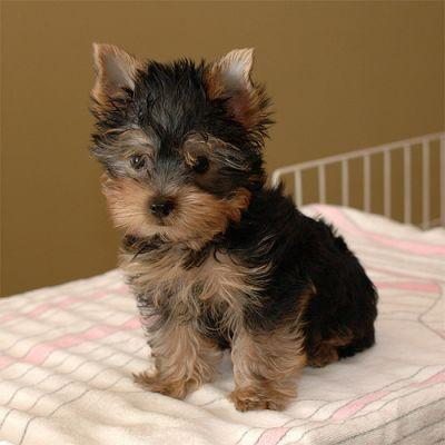 lovely teacup Yorkie puppies to loving homes.