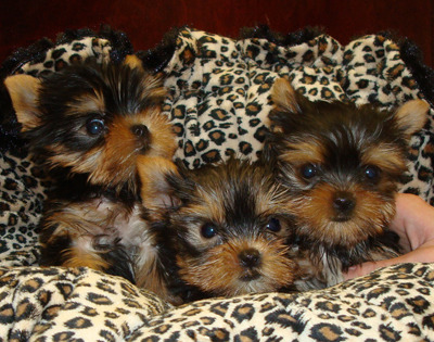 Yorkie Tiny T-cup Baby Girl Ready Now !