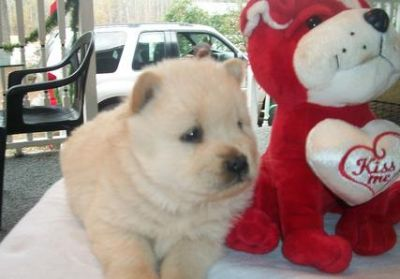 Charming Chow Chow Puppies For Sale