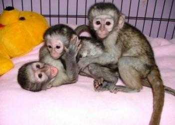 Capuchin monkeys,Squirrel monkeys,Spider monkeys,chimps,Marmosets for sale