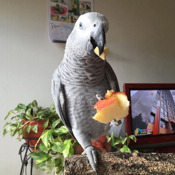 Alex the African grey