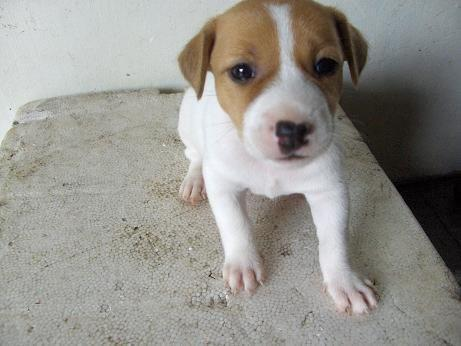 Beautiful Jack Russell Terrier puppies for sale .