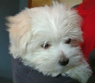 cute and charming maltese puppies for adoption