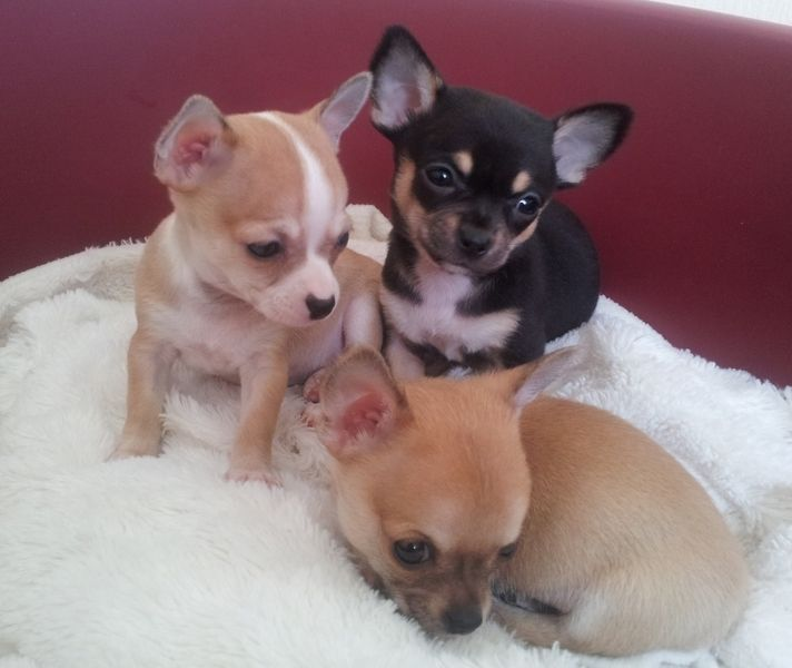 Short hair chihuahua puppies for adoption