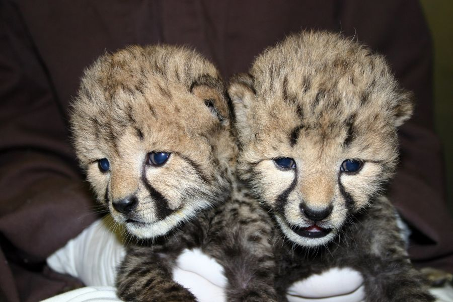 Environmental Cheetah Cubs for Homes