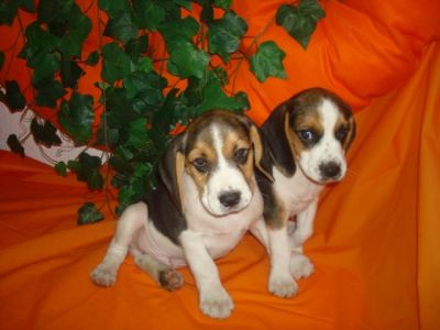 cheerful beagle puppies for sale