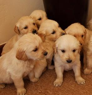 GOLDEN pups are excellent