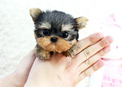 Lovely and adorable yorkie puppies for free adoption