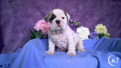 OMG!!! Cute Male and Female English Bulldog Pupies for adoption
