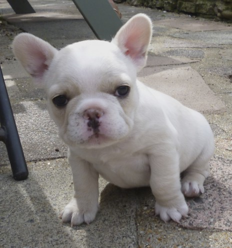 Hello we have 4 lovely French bulldog puppies ready to now to lovely homes, they are pure breed blue