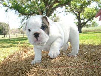 baby English bulldog puppies For Adoption