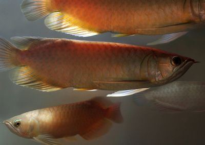 High Quality Super Red Arowana and others for sale