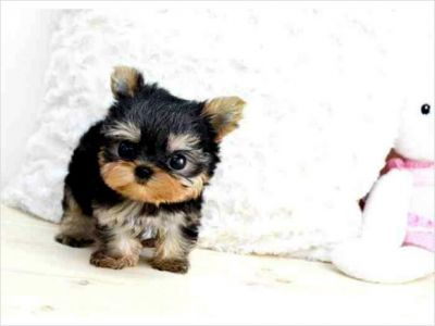 Healthy And Adorable Yorkie Puppies available for a Lovely Home.Email (jenniferrocha2013@gmail.com)