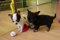 Two Cute tiny Akc Chihuahua Puppies Available For Adoption.