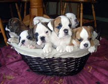 ADORABLE MALE AND FEMALE ENGLISH BULLDOG PUPPIES FOR FREE ADOPTION