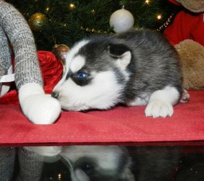 Male Siberian Husky Puppies for adoption